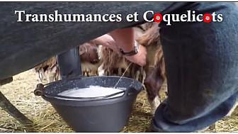 Transhumances et coquelicots